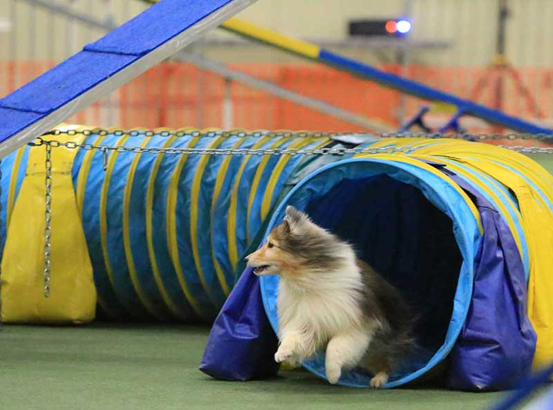 American Kennel Club (AKC) Dog Agility Trial