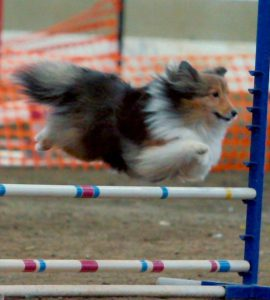 American Kennel Club (AKC) Dog Agility Trial @ WNC Agricultural Center McGough Arena