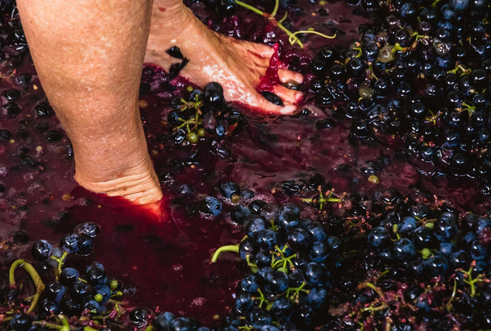 Annual Grape Stomp at Burntshirt Vineyards