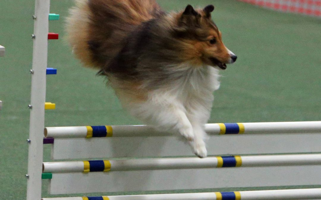 United States Dog Agility Association Dog Agility Trial