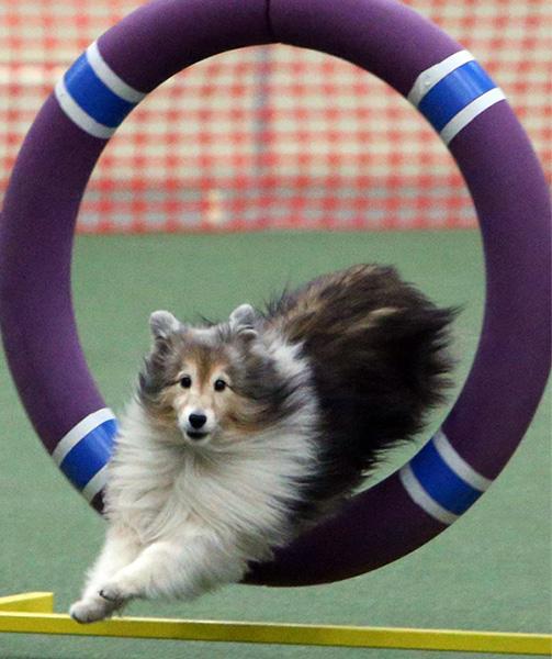 American Kennel Club Dog Agility Trial